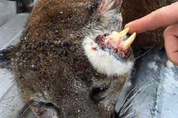 Idaho Hunter Harvests An Oddly Deformed Mountain Lion Featured