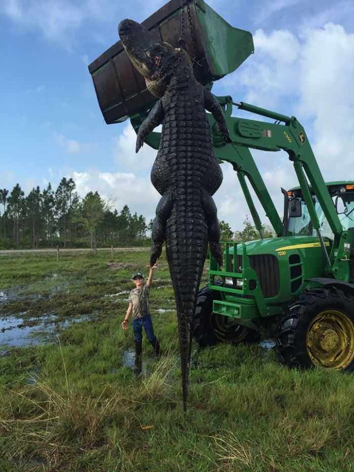 Florida Hunters Harvest A 15 Foot Long 800 Pound Alligator That Had Been Eating Their Cattle Pictures 001