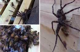 Honey Bees Attack And Kill A Huge Spider