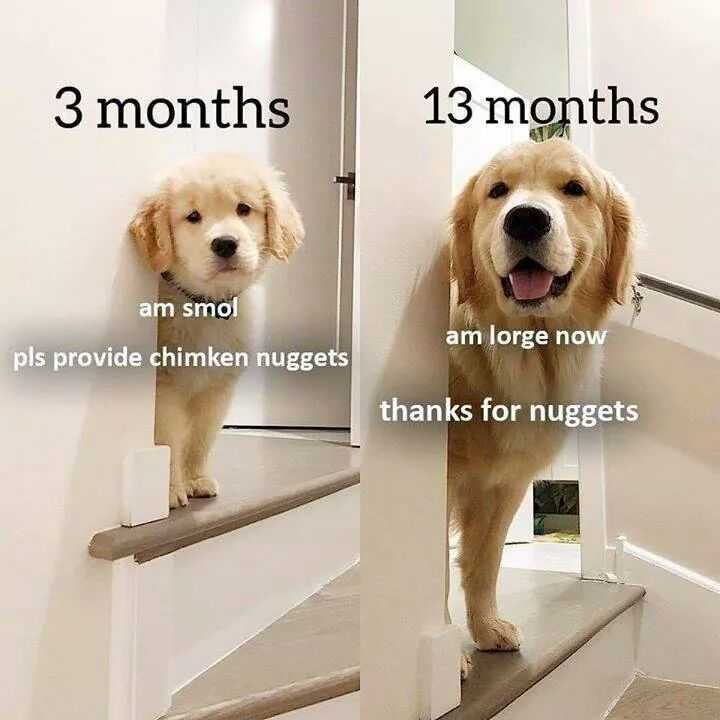 Funny Animal Memes  Another Golden Nugget Animal Fan