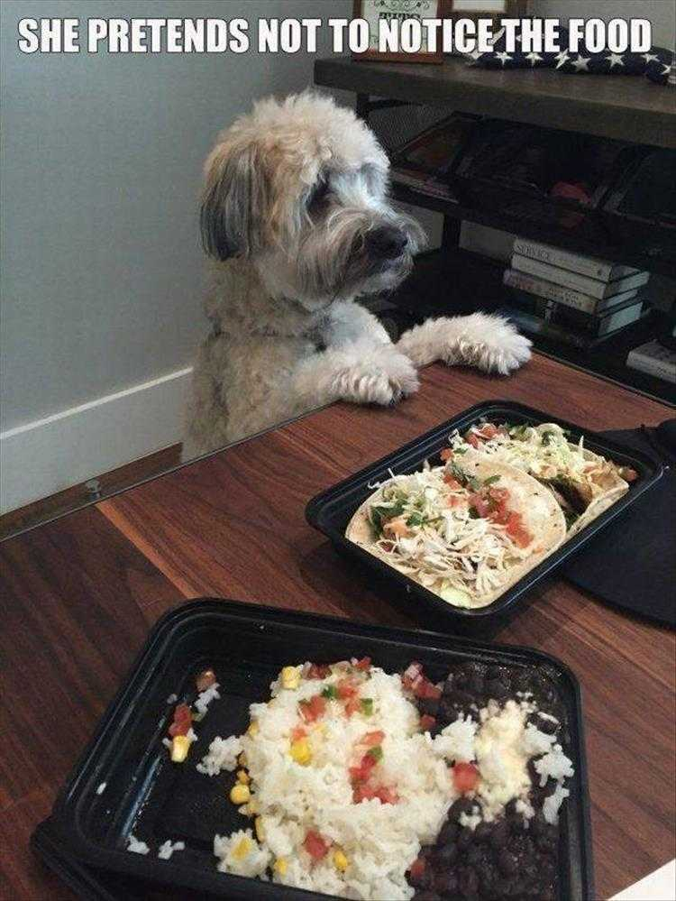 Funny Dog Pic With Caption  Not Looking At The Food