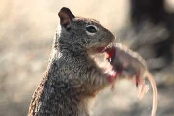 Squirrel-Eating-A-Mouse-Featured